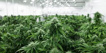 Aurora Cannabis: Große Zukunft oder Pleitekandidat?: https://www.sharedeals.de/wp-content/uploads/2020/04/Aurora-Cannabis-im-Gew%C3%A4chshaus.png